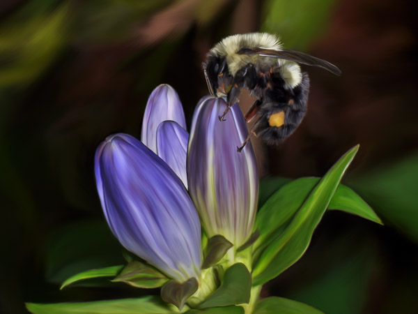 Gentian Pollinator