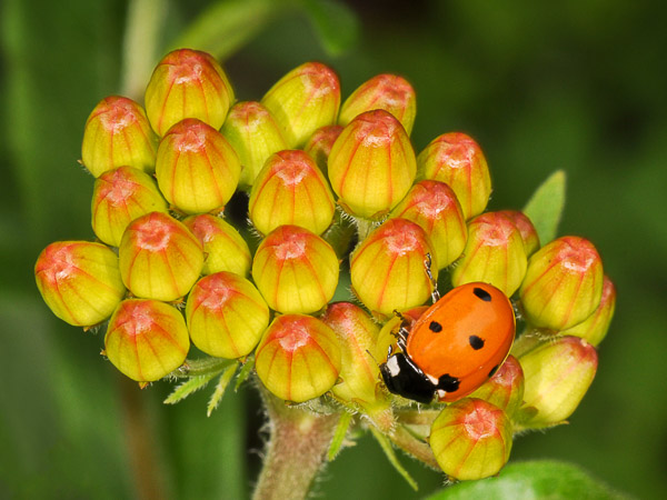 Native Seven-Spotted Lady Beetle on Butterfly Weed bud (Asclepias tuberosa)