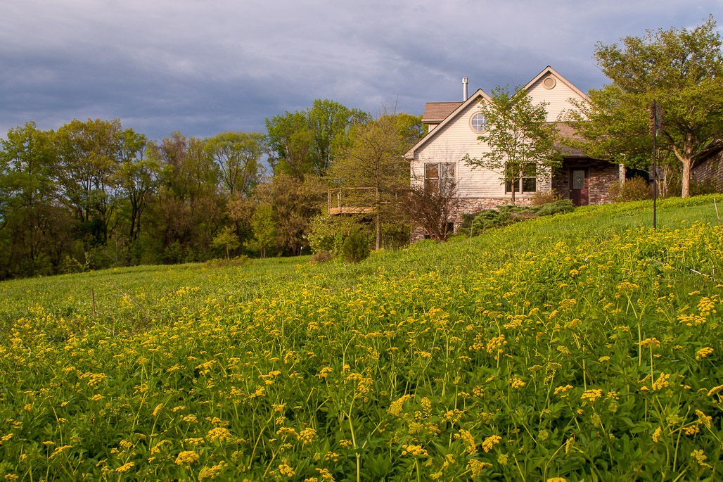Native plant meadow in spring bloom in front yard