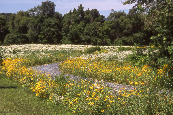 Native Meadow in 1st year growth