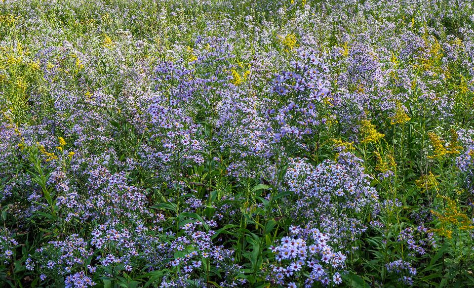 Meadow asters and goldenrods