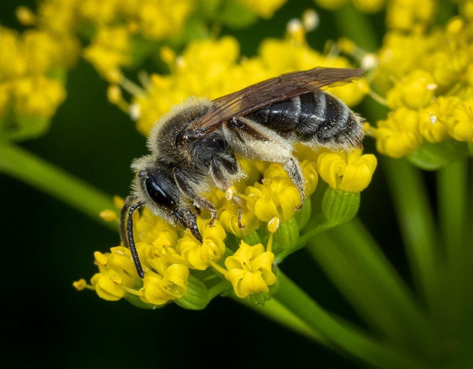 Close-up wildlife of early season native Andrenid bee feeding on Golden Alexanders