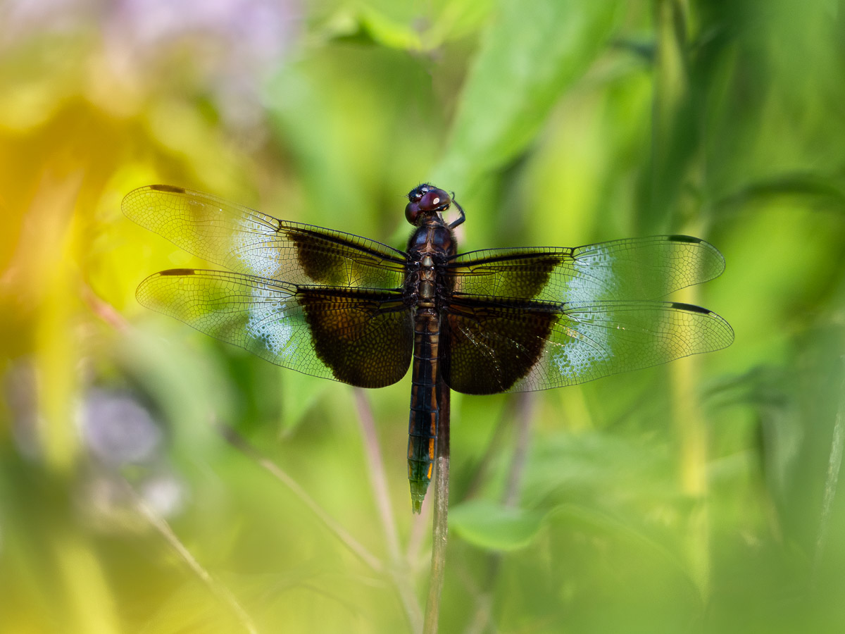 A male Widow Skimmer dragonfly suns in the meadow