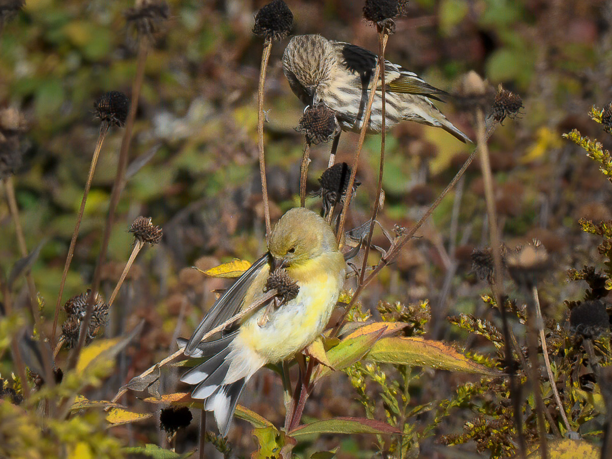 American Goldfinch and Pine Sisken feed on meadow seed in the fall