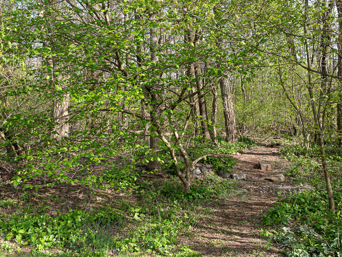 Woodland area with recovered understory and invasive shrubs removed