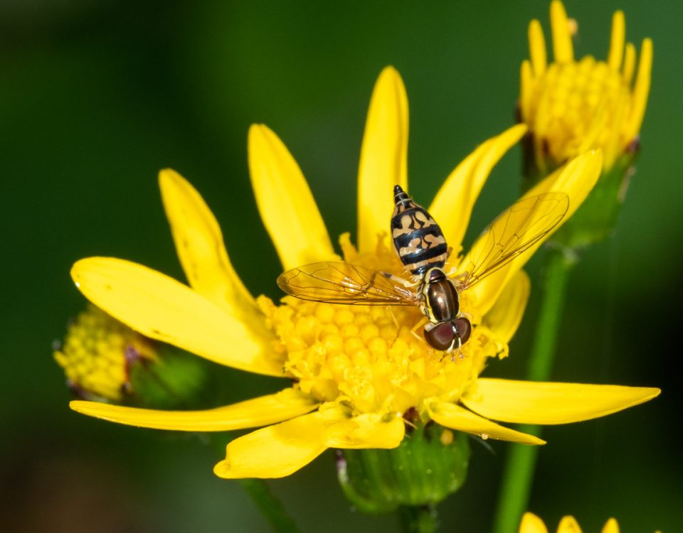 Eastern Calligrapher fly (Toxomerus geminatus) on Golden Ragwort (Packera aureus)