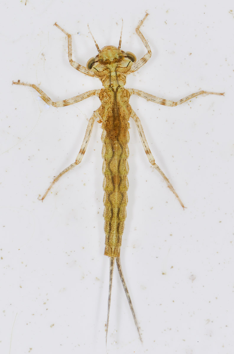 Damselfly larva found in our pond in April