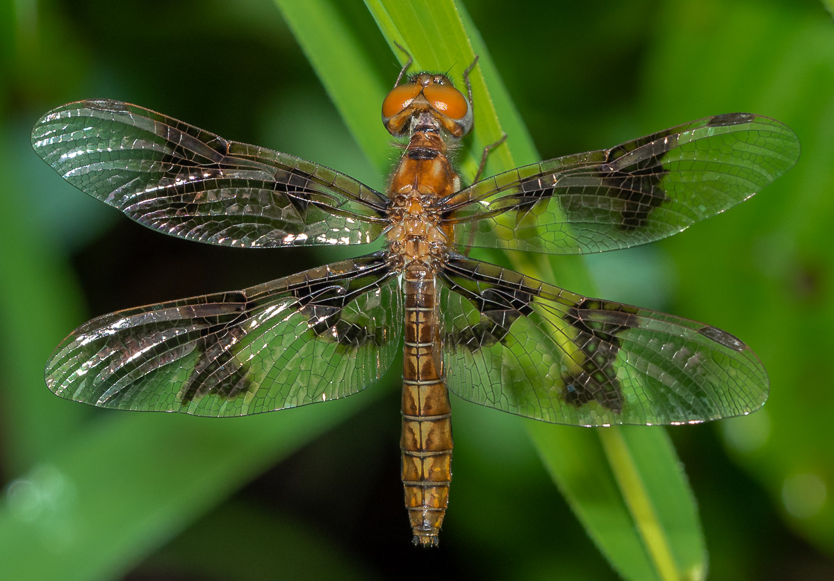 An Eastern Amberwing dragonfly for comparison. The hindwing is much wider at the body and the eyes are bigger and rounder.