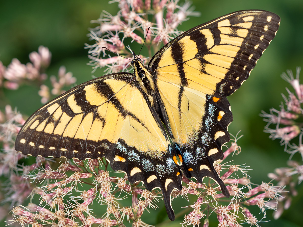 This spectacular female Eastern Tiger Swallowtail was feeding on Joe-Pye Weed just before sunset. The blue on the hindwing makes it a female.