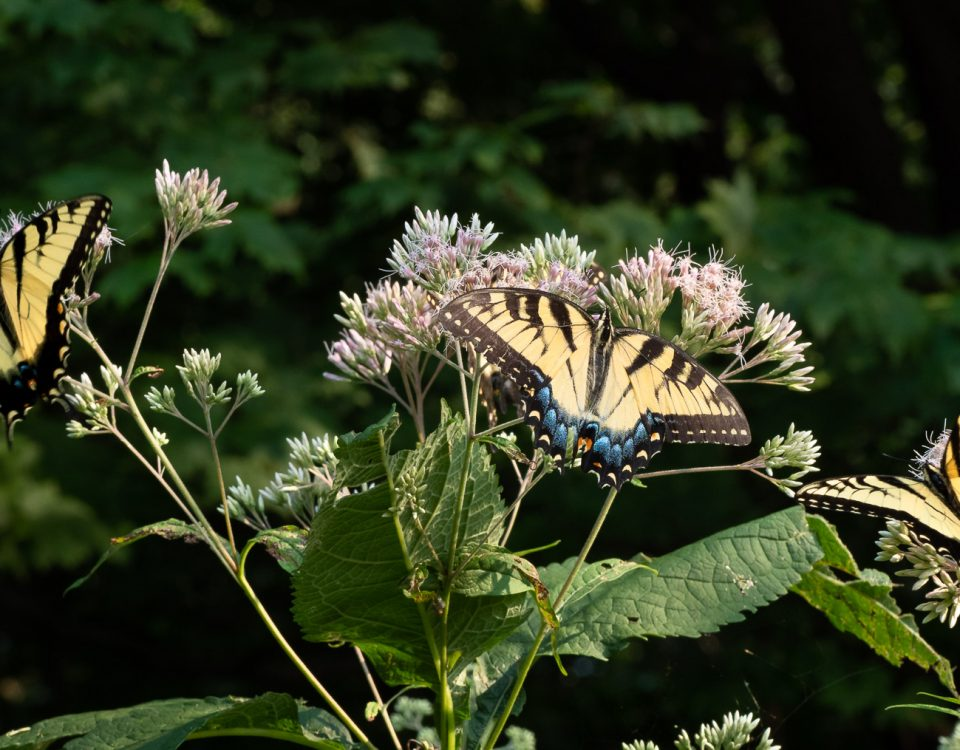 Eastern Tiger Swallowtails nectar on Joe-Pye Weed that can be found in woodlands or on edges. This is under a Tulip Popular that is a larva host plant.