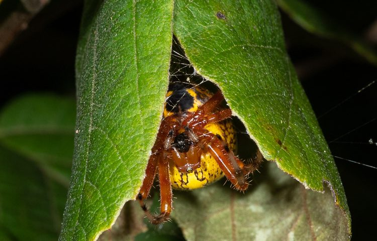 This Pumpkin Spider's eyes are pointed down to her web while waiting for prey in her retreat.