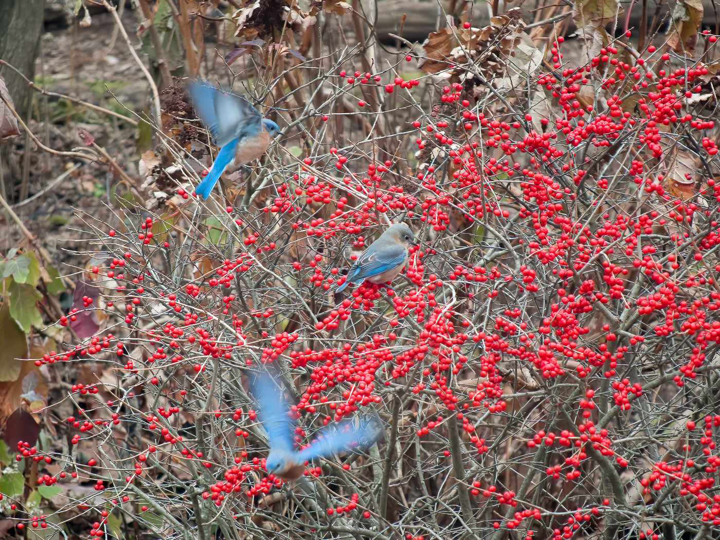 These 3 male bluebirds feeding on Red Sprite berries are a colorful winter treat.